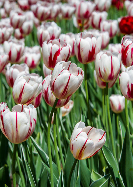 Julie Williams Tulips Infrared 6859 2 Photography Art | Julie Williams Fine Art Photography