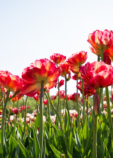 Blooming Tulips Photography Art | Julie Williams Fine Art Photography