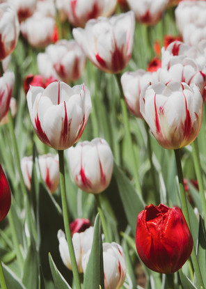 Red And White Tulips Photography Art   Julie Williams Fine Art Photography