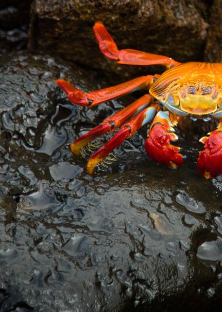 Sally Lightfoot Crab in Galapagos