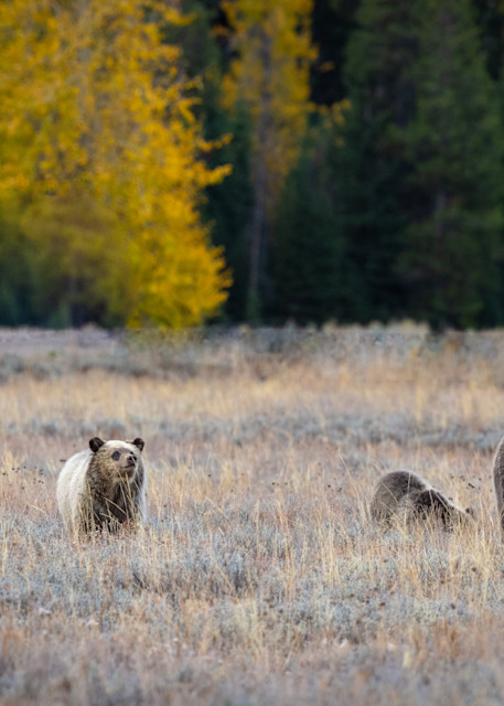 Grizz;y Bear No. 399 and her four cubs