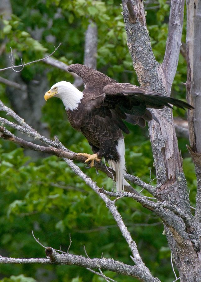 Bald Eagle, Maine