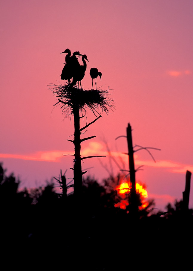 Great Blue Heron Sunset