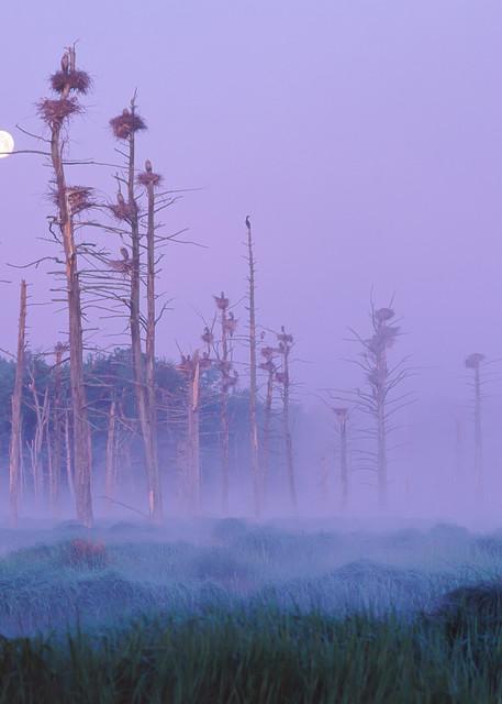Great Blue Heron Rookery Full Moon