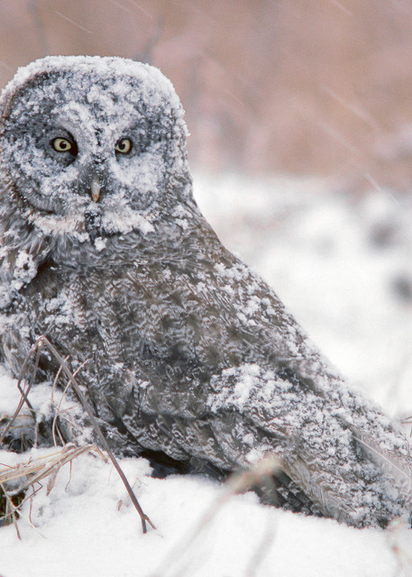 Great Gray Owl in Snow