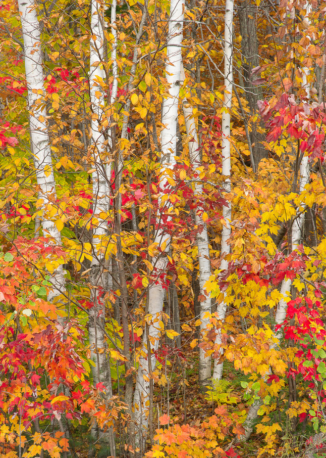Birches in Fall Color