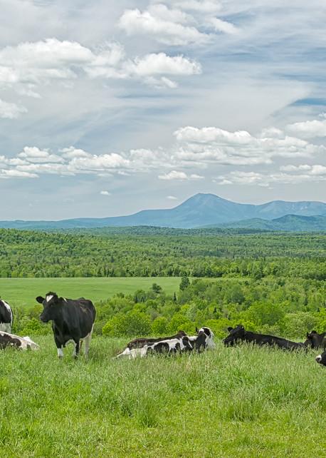 Cows and Mt Katahdin