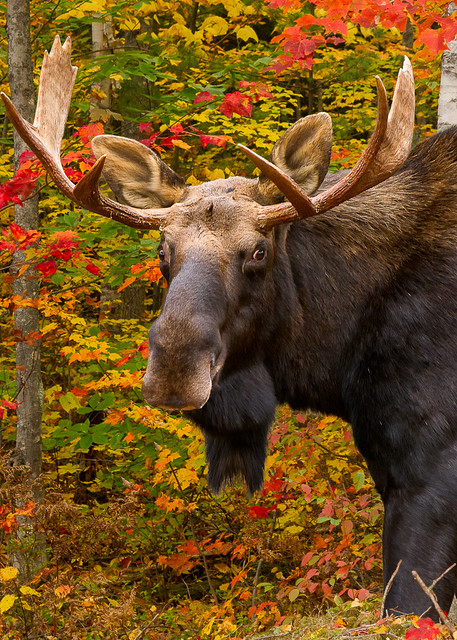 Bull Moose in Red Maples