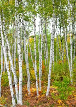 Birches in Fall Color -Pano