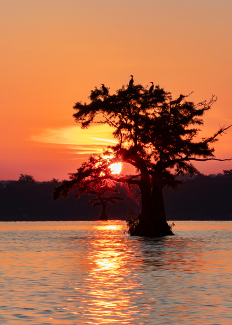 Comorant At Sunrise In Cypress  8482 Reelfoot Lake Art | Koral Martin Fine Art Photography