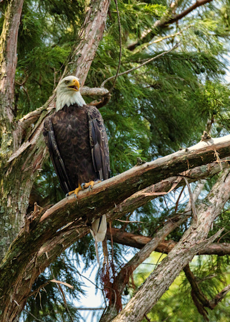 Bald Eagle 9164  Art | Koral Martin Fine Art Photography