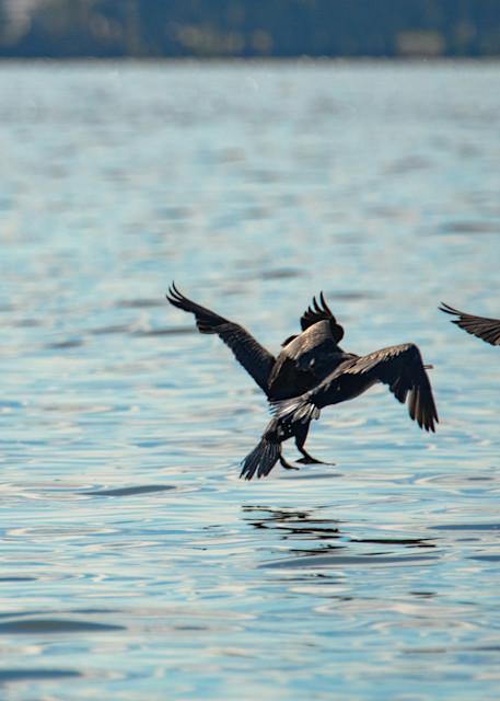 Cormorants Takingflight 8768  Art   Koral Martin Fine Art Photography