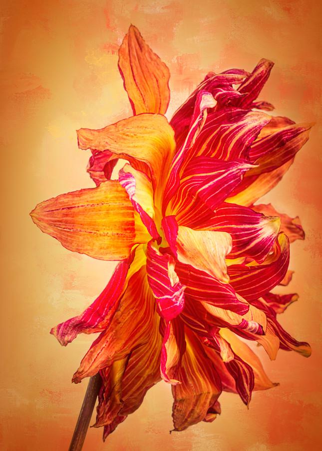 Aging Gracefully Dahlia Fine-Art Photographic Print