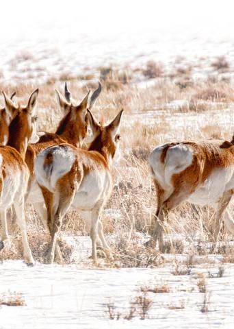 High Tailing It  Pronghorn Antelope  0117 High Key Art | Koral Martin Fine Art Photography