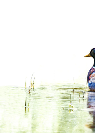 Just A Swimmin'     Mallard Duck 1251 High Key Art | Koral Martin Fine Art Photography