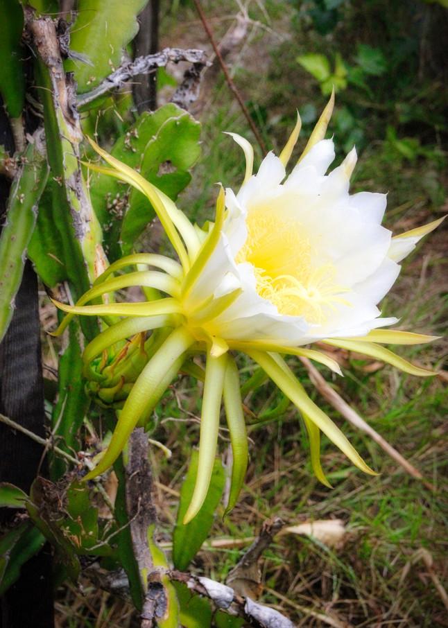 midnight, pitaya, dragonfruit, closup, photographicprints, jackierobbinsstudio