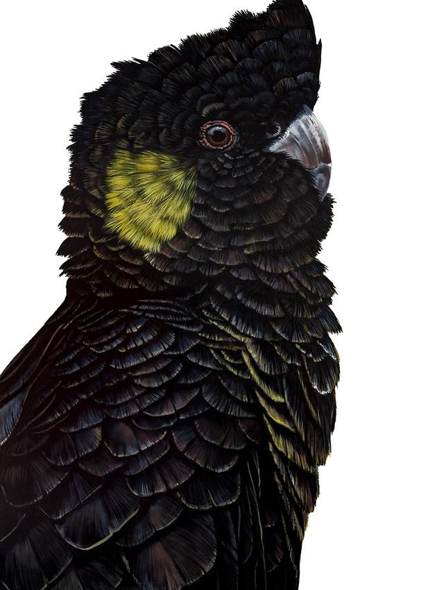 Frederick - Yellow-tailed Black Cockatoo