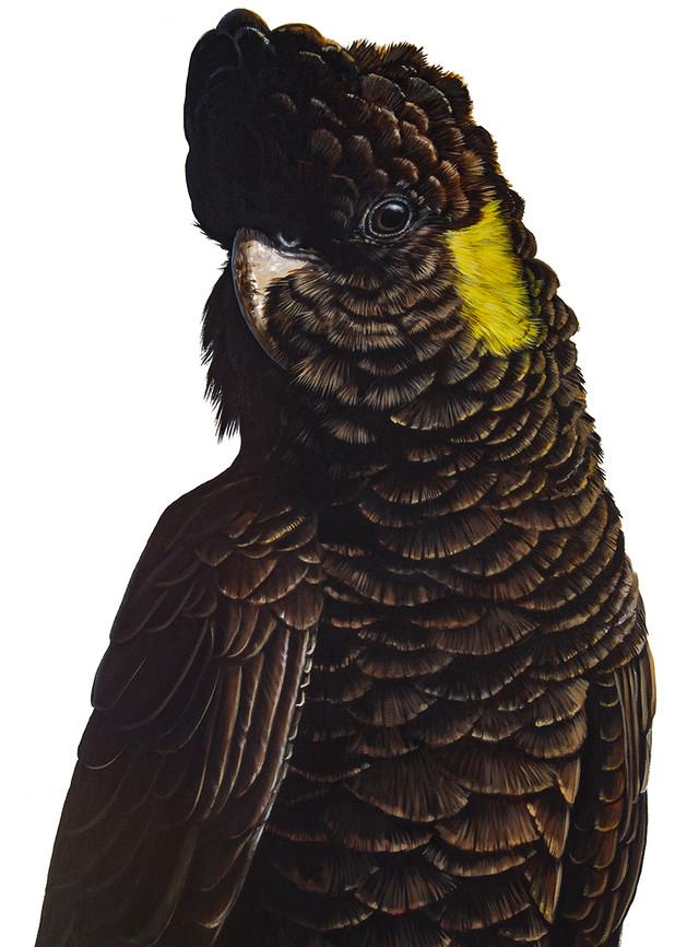 Fleur - Yellow-tailed Black Cockatoo