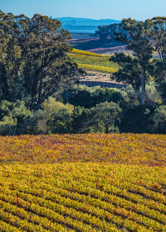 Golden Fields of Napa