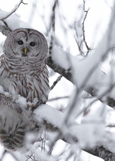 Barred Owl in Snow