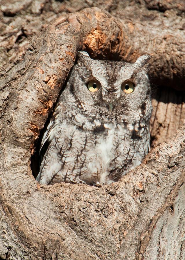 Gray Phase Screech Owl