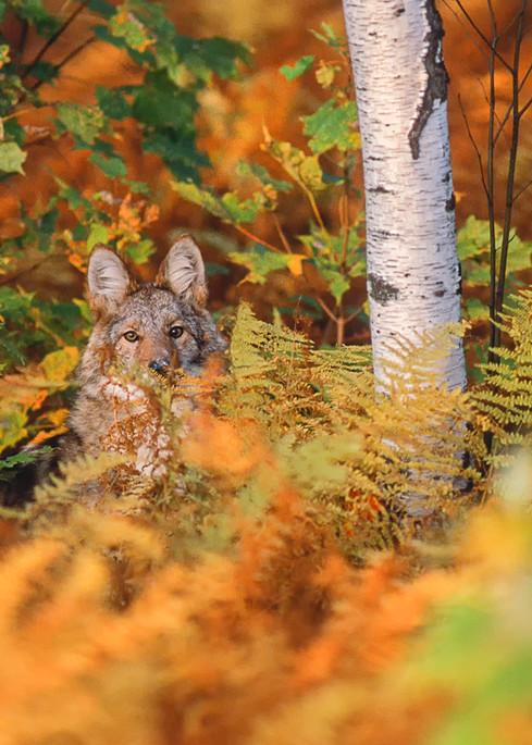 Coyote in Ferns