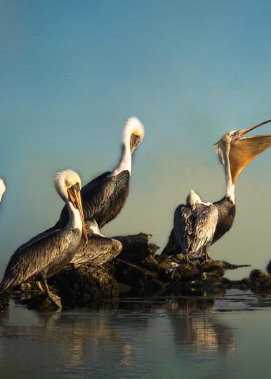 Colony of Pelicans in Malibu