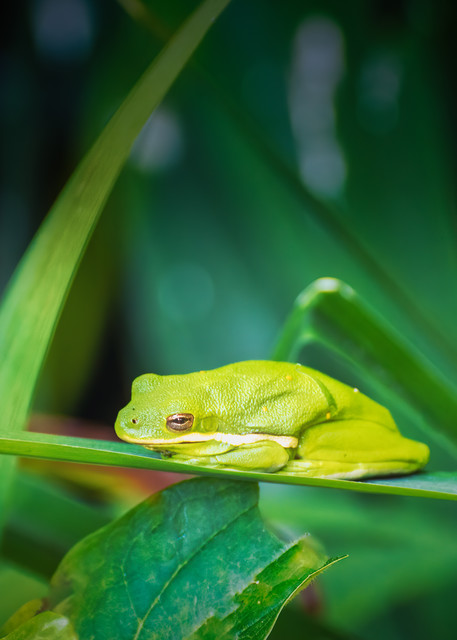 Green Tree Frog Photography Art | Grace Fine Art Photography by Beth Sheridan