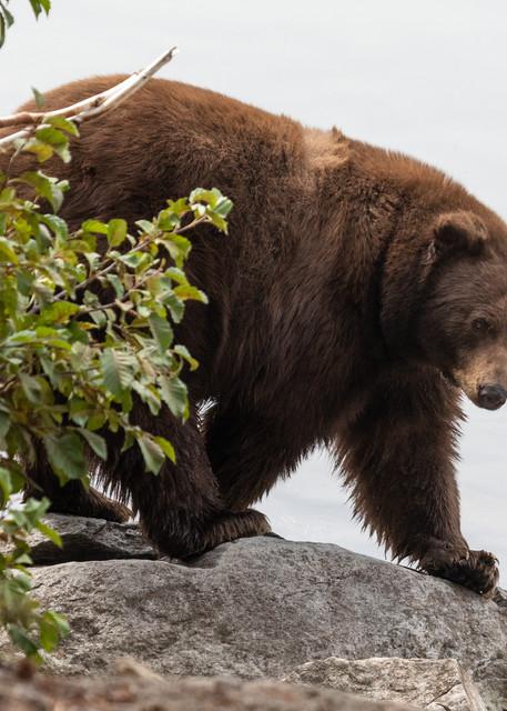 Brown Bear On The Prowl Photography Art | Leiken Photography