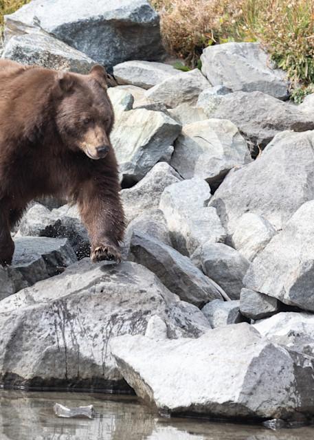 Bear On The Rocks Photography Art | Leiken Photography
