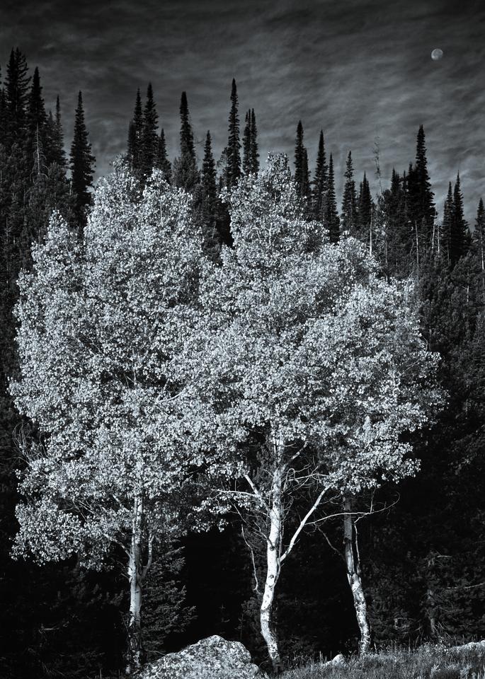 Fine Art Print | Three Aspens at Moonrise in B&W