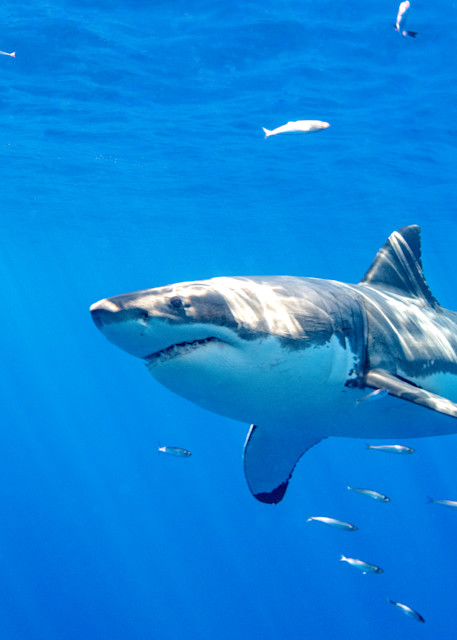 Great White Shark is a photograph taken underwater and available as a fine art print for sale.