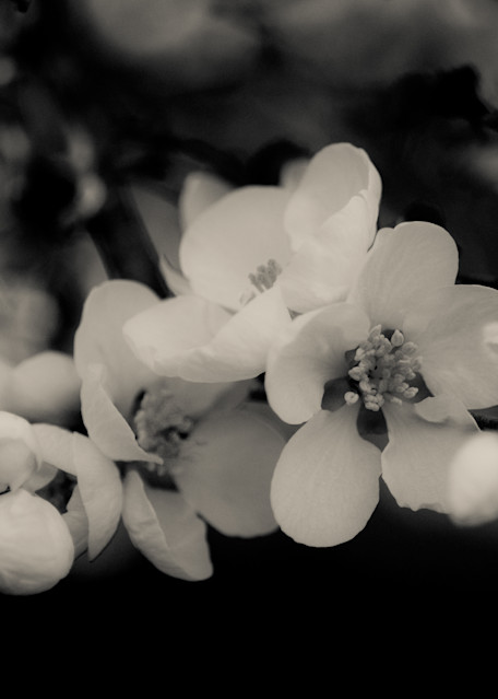 Quince (Black And White) Art | Anna Jaap Studio