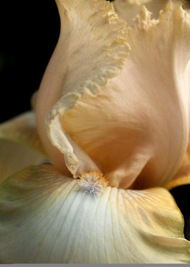 Tall Bearded Iris Photography Art   Christopher Grey Studios