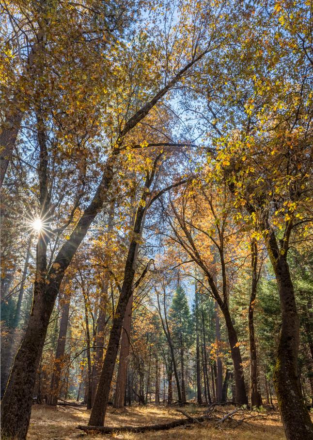 Autumn Oaks, Yosemite Art | The Carmel Gallery