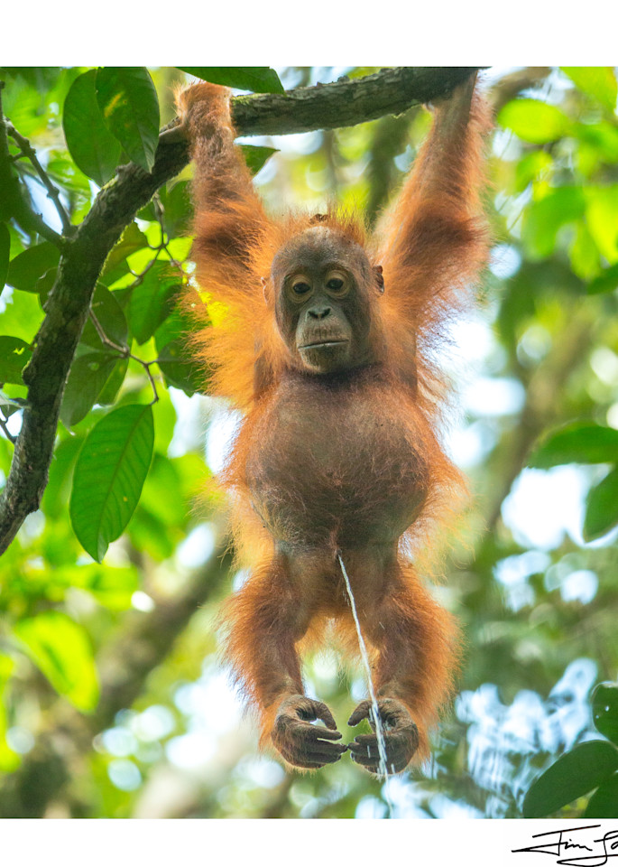 Live Streaming Borneo 2020 (Square) Photography Art | Tim Laman