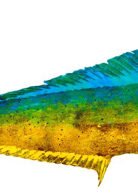 Mahi Mahi Female