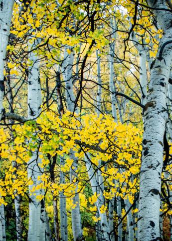 Golden Trees Photography Art   Colorado Born Images