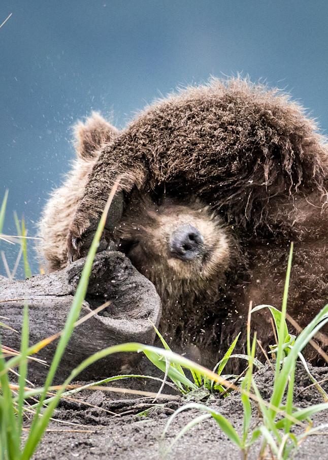 Not Today Brown Bear Photography Art | Colorado Born Images