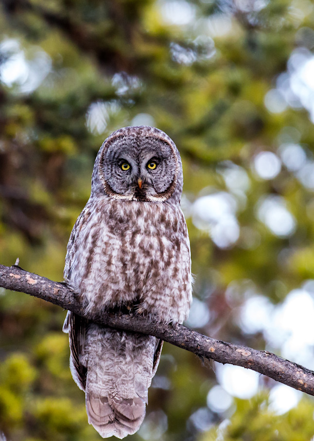 Watchful Great Gray  Photography Art | Colorado Born Images