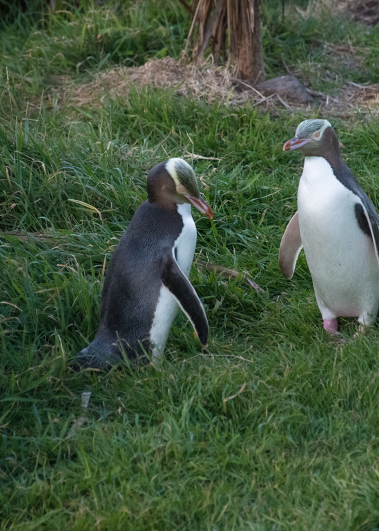 Penguin Pair Photography Art   Hatch Photo Artistry LLC