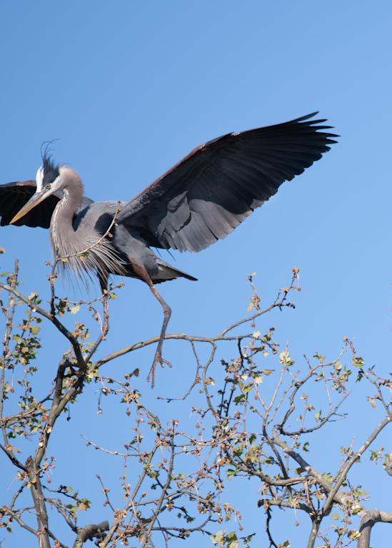 Heron Approaching Nest Photography Art | Hatch Photo Artistry LLC