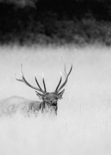 Bull Elk in Field