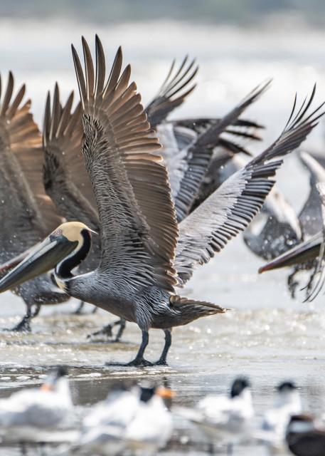 Pelican Patrol Photography Art   kramkranphoto