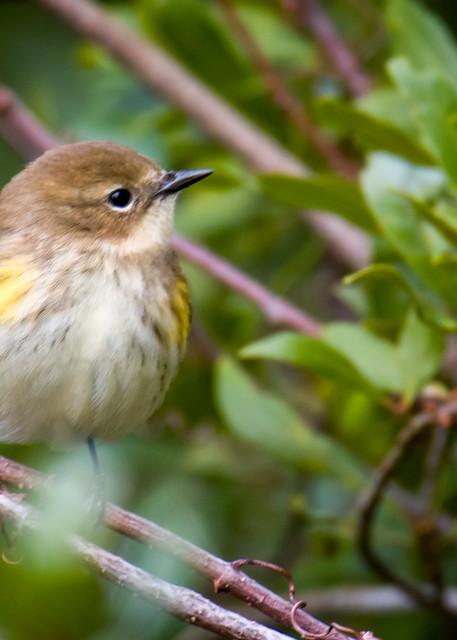Yellow Rumped Warbler in Bush