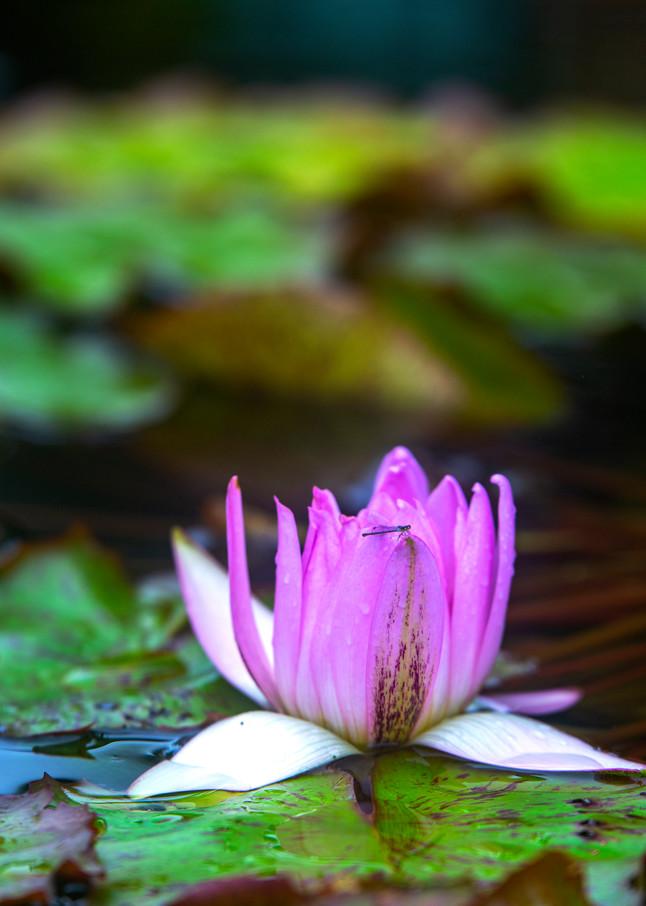 Purple lotus photograph from the Birmingham Zoo.