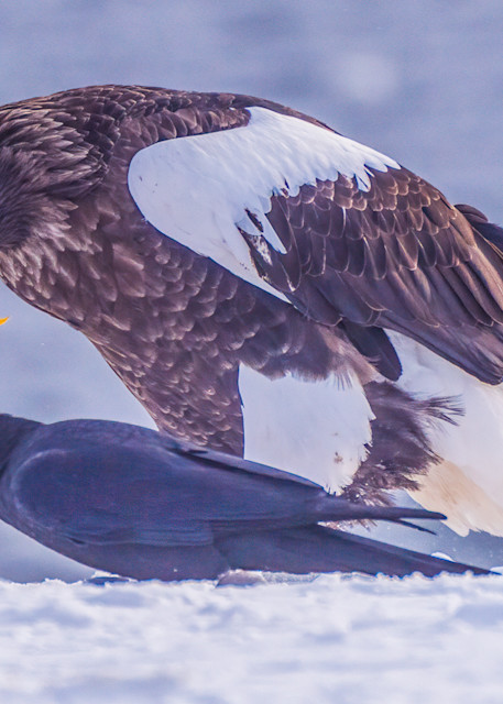 Steller's sea eagles in the remote town of Rausu on the island of Hokkaido, at the northern tip of Japan. About 2000 of them spend the winter in this area, out of a total estimated population of 5000 - the rest are found in the even more remote suba