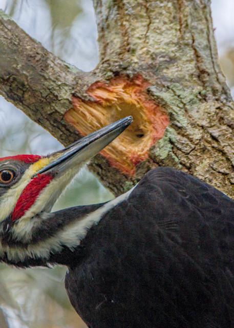Pileated Woodpecker Photography Art | kramkranphoto