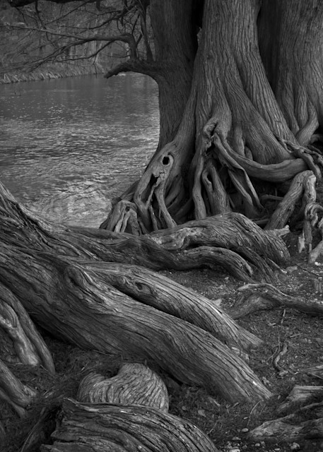 Cypress Trees, Guadalupe State Park, Bulverde, Texas 2011 Photography Art | Rick Gardner Photography