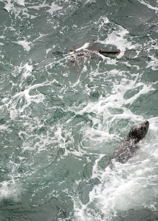 Harbor Seal Hunting Photography Art | Hatch Photo Artistry LLC